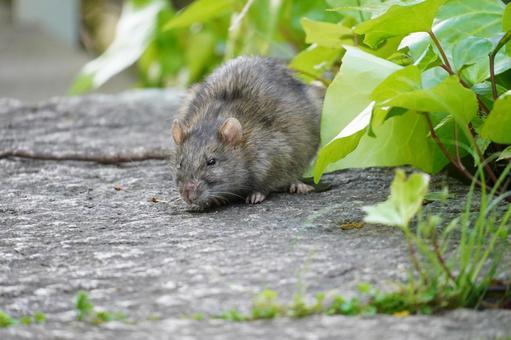 mouse_rat23590.jpg