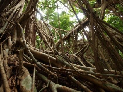 屋久島紀行(13) -巨樹ガジュマルの話-