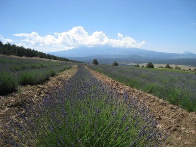 Lavender farms 062510-1
