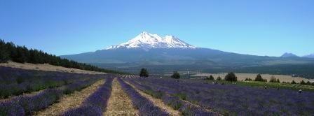 lavender farm 070510
