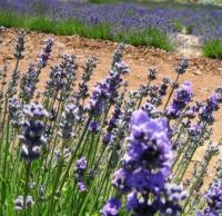 lavender farm 070510-4