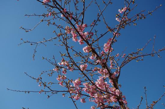 河津桜まつり 5