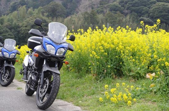 菜の花 6