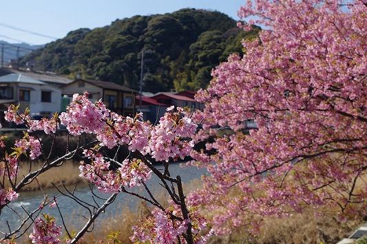 河津桜まつり 9