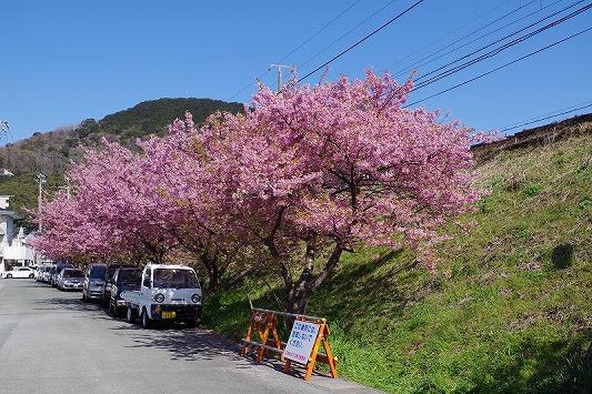 河津桜まつり 11