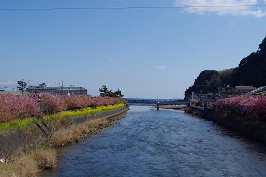 河津桜まつり 13
