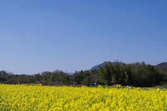 菜の花畑 3