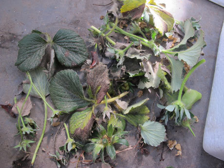 イチゴの苗の傷んだ葉や実を取り除く