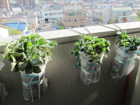 ペットボトルによる水耕栽培。(四季なりイチゴのめちゃウマ)