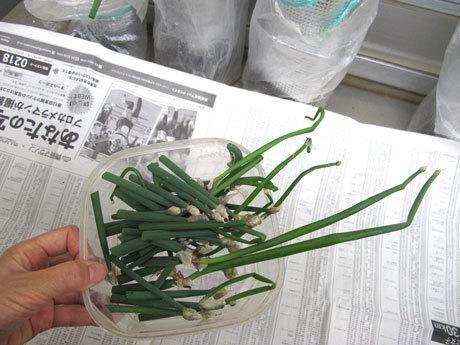 新しい芽の部分(珠芽=しゅが)を切り取ったヤグラネギ