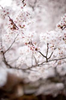 $さんアイアイ-2011桜1