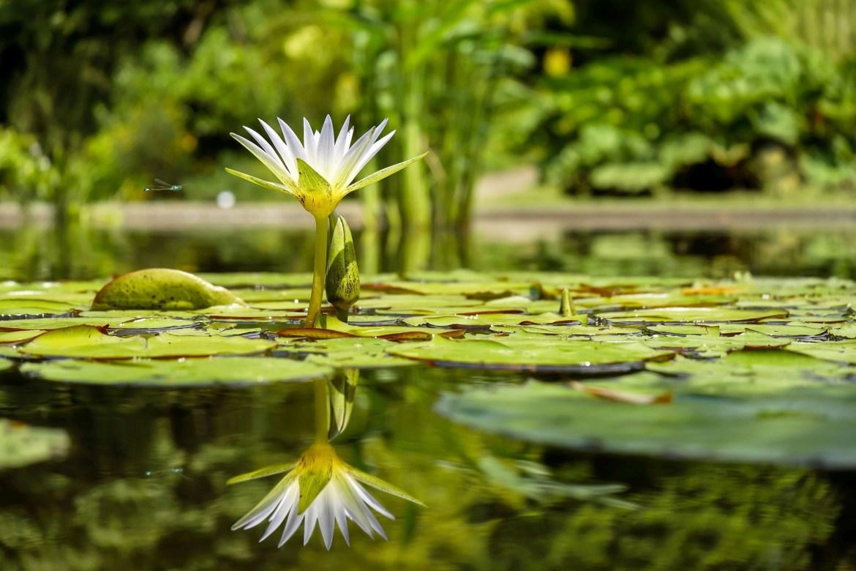Cette fleur de lotus symbolise un épanouissement profond prenant racine à l'intérieur de votre être et qui se reflète à l'extérieur. Vous êtes serein, plein et épanoui, vous avez vaincu la dépendance affective.