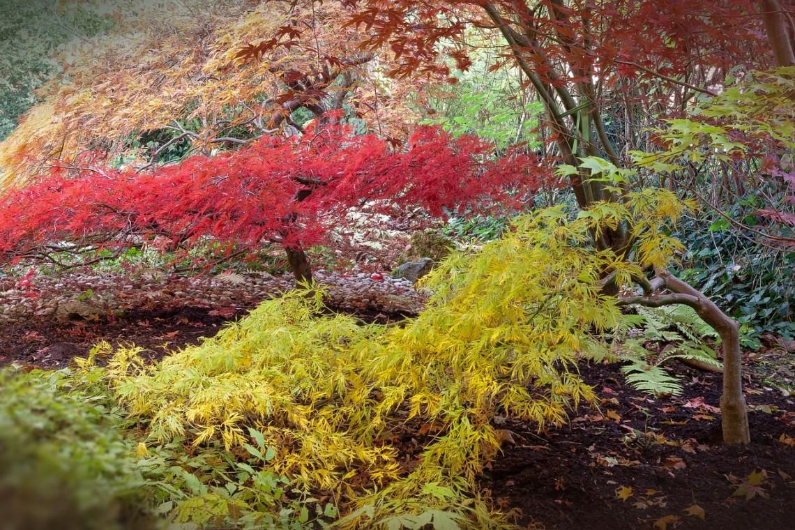 japanese-maple-512945_1280