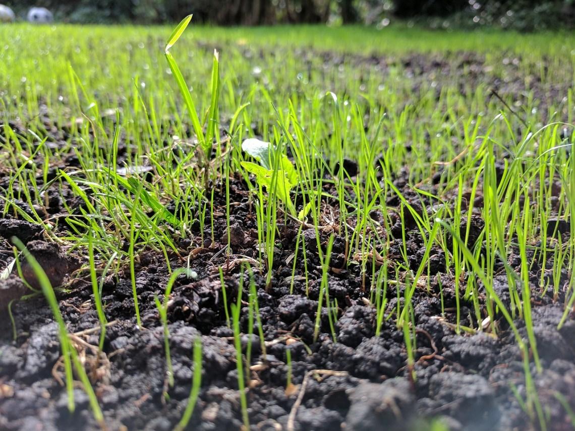 grass-seed-2643455_1280