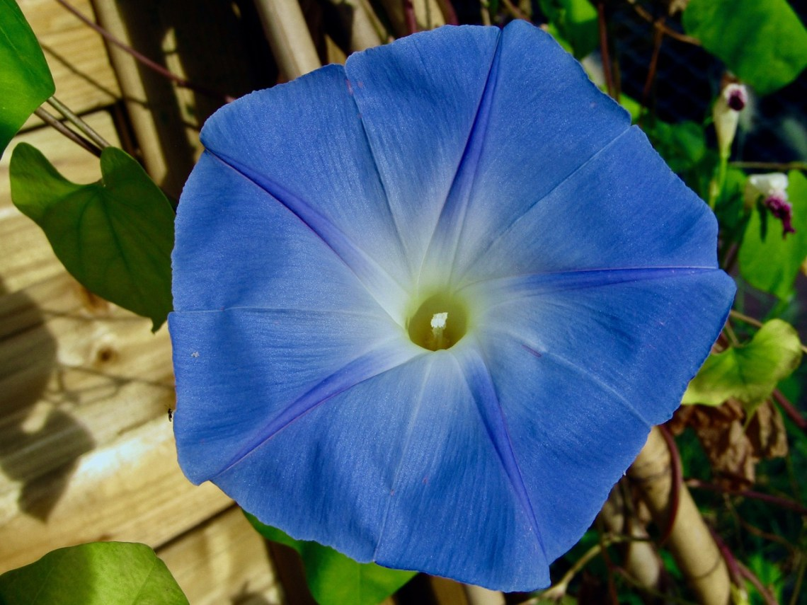 bindweed-climbing-blue-3682385_1280