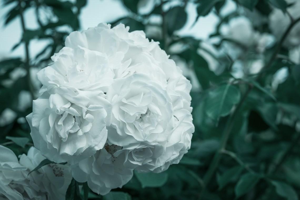 roses-4893325_1280