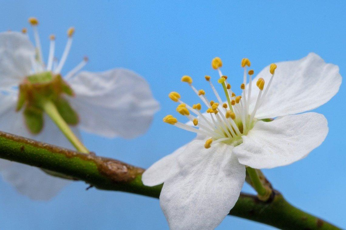 cherry-blossom-4118102_1280