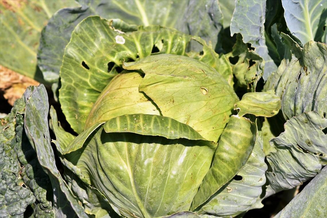 white-cabbage-3696964_1280
