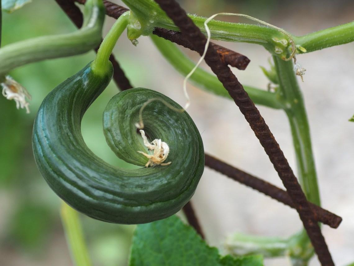 cucumber-2497477_1280