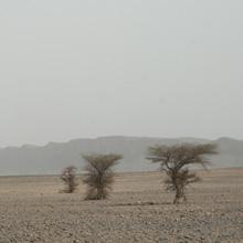 Bäume in der  Wüste Marokkos
