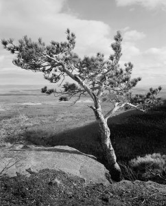 Weathered pine, cliff edge, Kaaterskill Clove. Thomas Teich