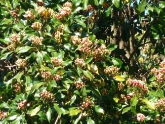 Clous de girofle dans les arbres (Munduk)