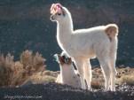 Lamas dans le désert d'Atacama.