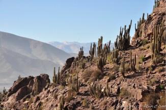 Des cactus.