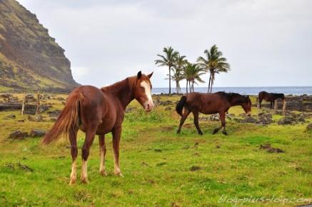 Les chevaux en liberté, à Rapa Nui.