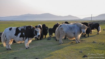 Des yacks mongols.