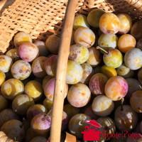 Récolte de mirabelles dans panier en osier