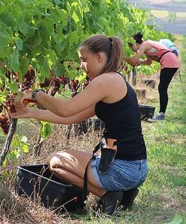Travail dans les vignes Nouvelle-Zélande