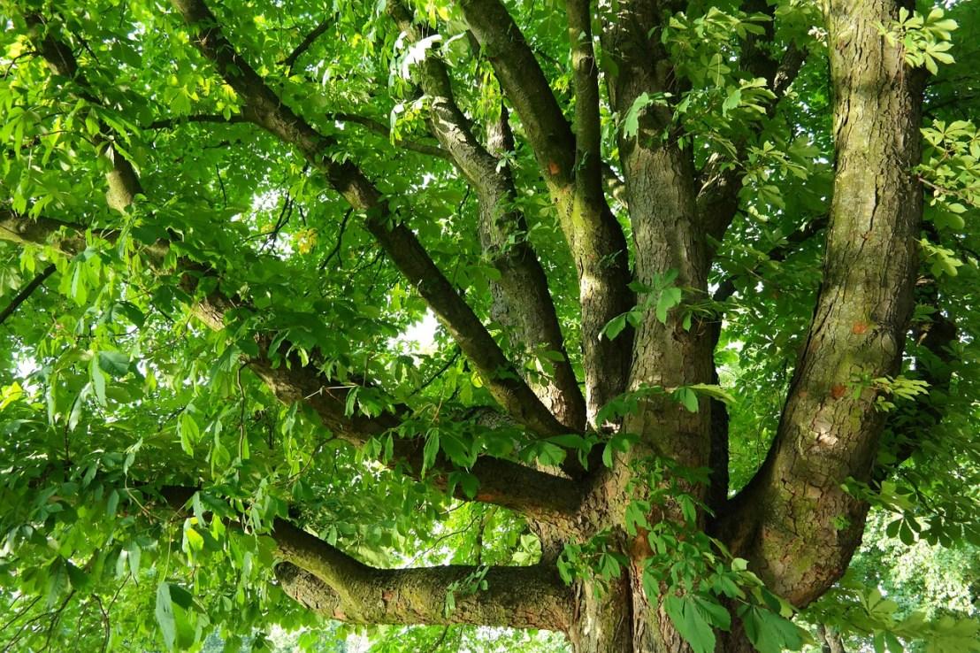 chestnut-143286_1280