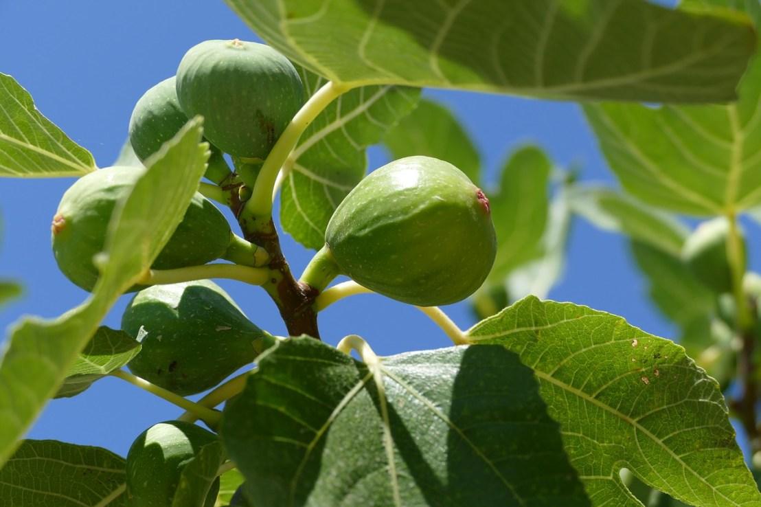 fig-tree-1658686_1280