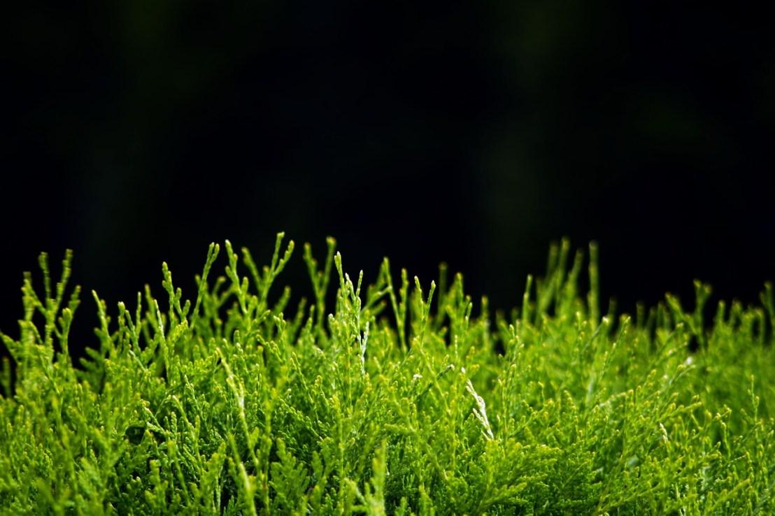hedge-1493908_1280