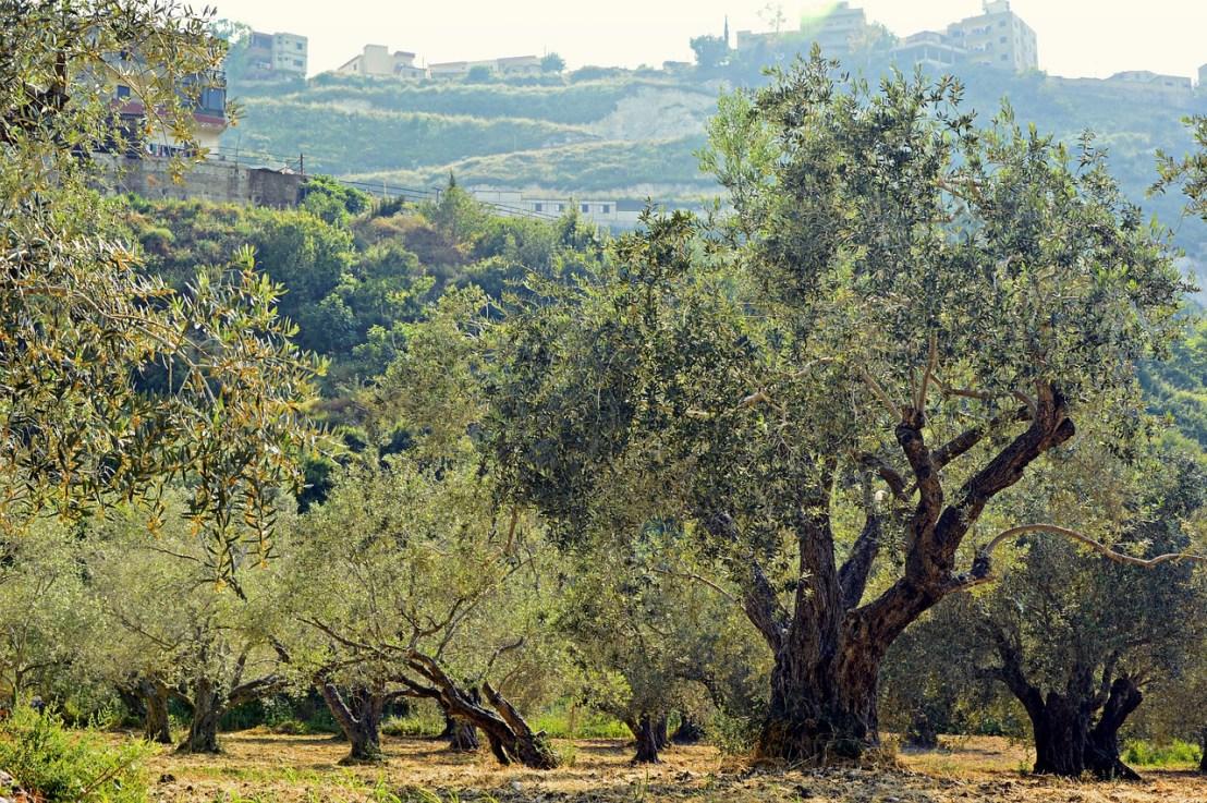 olive-trees-4253749_1280