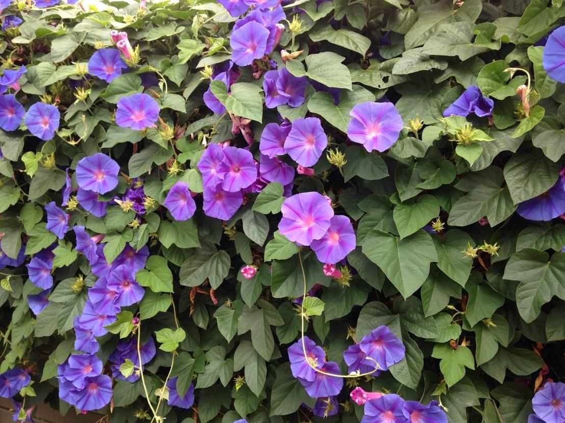 blue-flowers-946559_1280(1)