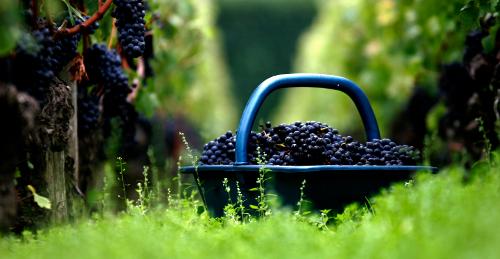 Domaine de Chevalier vendange vignes rouges