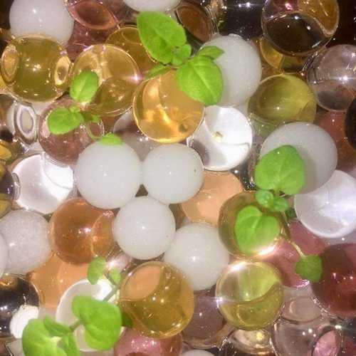 #ダイソー の#植物が育つ不思議なゼリー に#ペパーミント を植え替え。根に#バーミキュライト が絡まって大変だった(笑)フラッシュだけなのにキラキラしてる!#水耕栽培 #ハイドロカルチャー #ジュエルポリマー #ペパーミント #ハーブ #hydroculture #peppermint