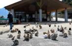 港の桟橋付近に集まるウサギたち=広島県竹原市の大久野島