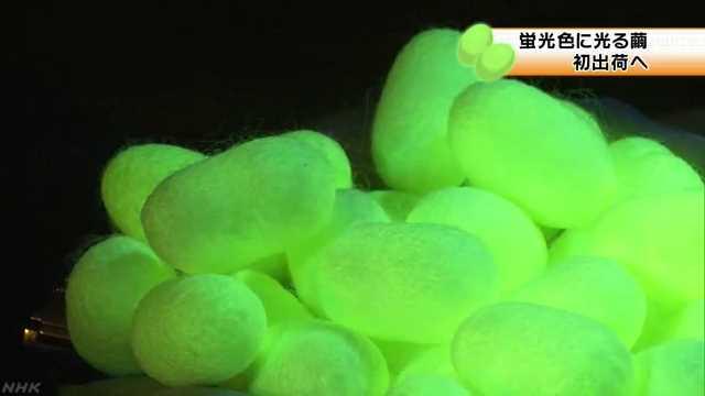 蛍光色に光る繭 初出荷を前に公開 前橋 | NHKニュース