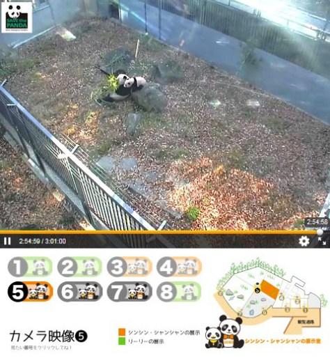 上野動物園のジャイアントパンダの子ども、シャンシャンの一般公開に合わせ、インターネットで配信されるライブ映像のイメージ(東京動物園協会提供)