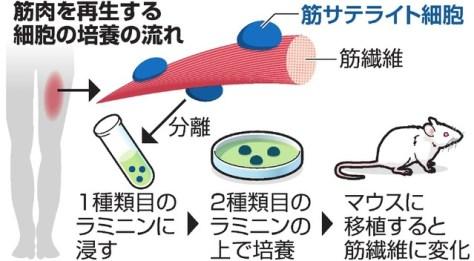 筋肉を再生する細胞の培養の流れ