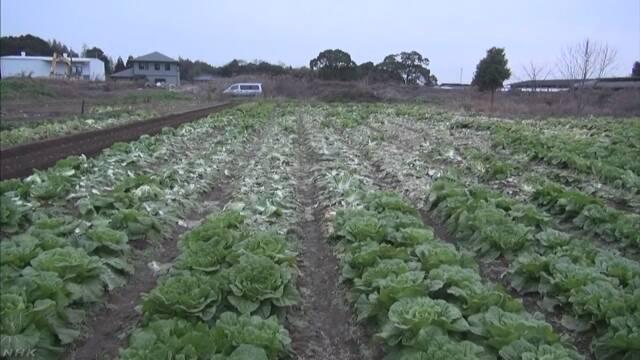 農家がっかり… 高騰の白菜500個盗まれる
