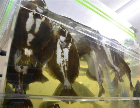 環境技術研究所の開発センターでは、1年で出荷ベースで重さ約1キロのヒラメが養殖できる=前橋市(久保まりな撮影)