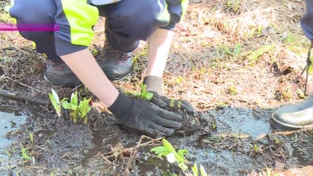 尾瀬にミズバショウ復活を 高校生などが苗を植える   NHKニュース