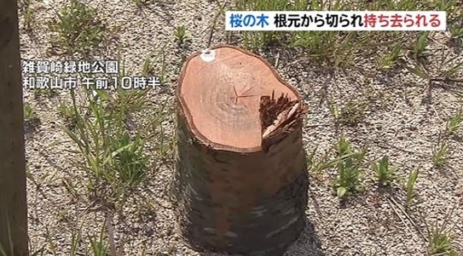 桜の木、根元から切られ持ち去られる TBS NEWS