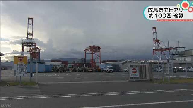 広島港で約100匹のヒアリ確認