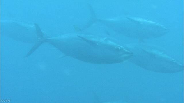 来シーズンの小型クロマグロ漁獲枠 北海道など事実上ゼロに   NHKニュース