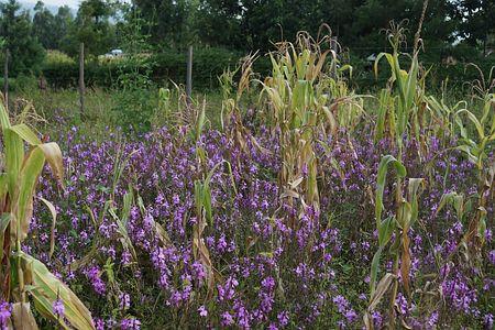 トウモロコシに寄生し、花を咲かせる「ストライガ」(土屋雄一朗・名古屋大特任准教授提供)